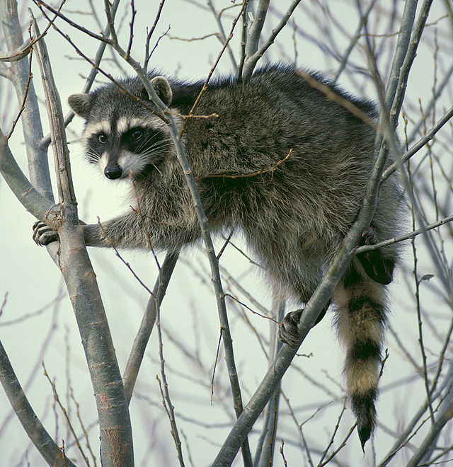 640px-Raccoon_climbing_in_tree_-_Cropped_and_color_corrected